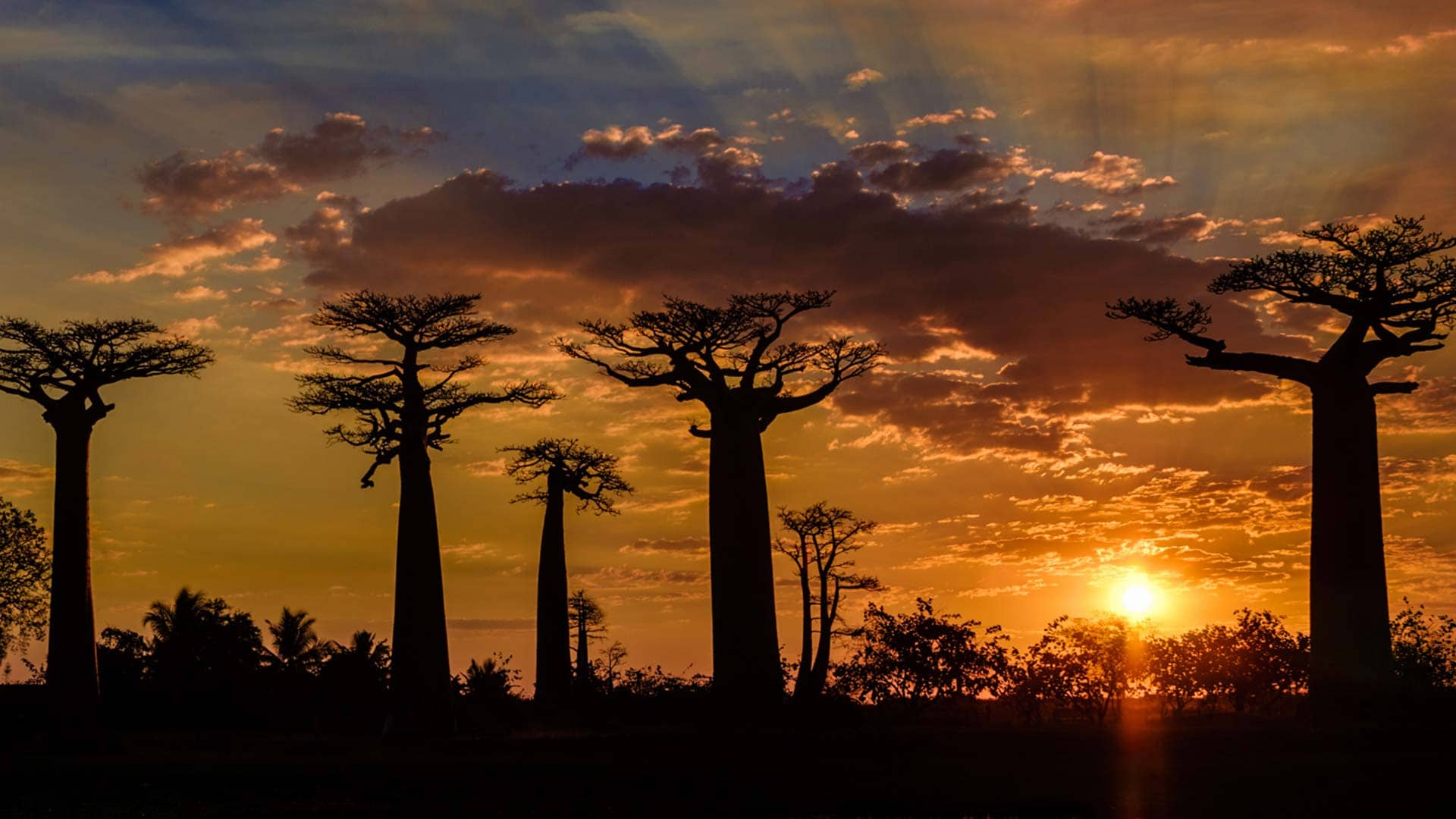 Avenue of the Baobab Trees at Sunset